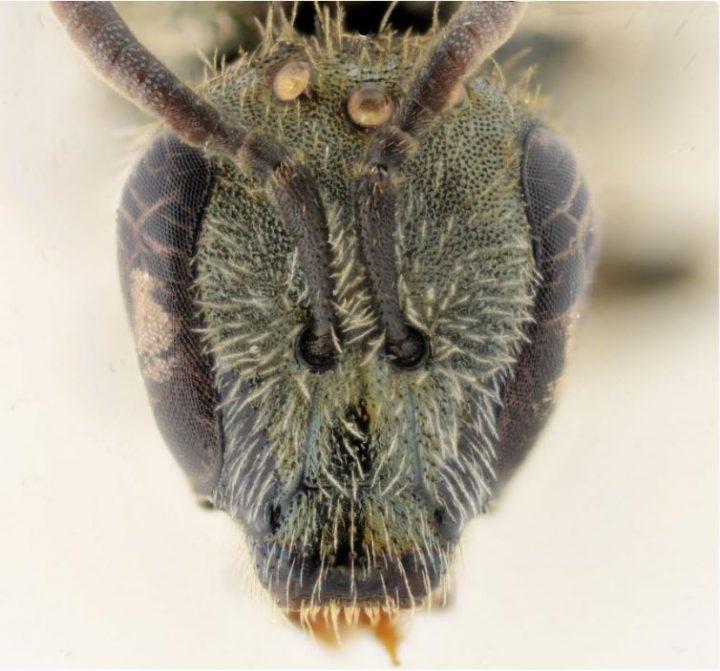 Investigadores israelíes descubren nuevas especies de abejas