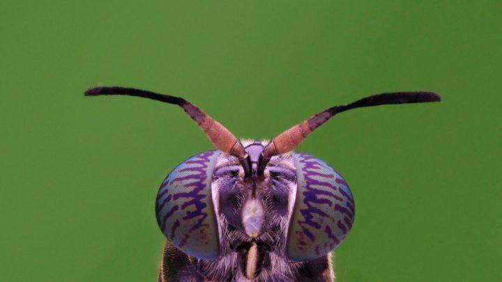 Una mosca de Sudamérica podría ayudar a salvar el planeta