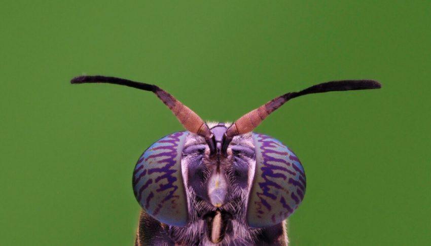 La mosca soldado negra (Hermetia Illucens) es un impensado guerrero ambiental en la lucha contra el cambio climático. Foto: Shutterstock