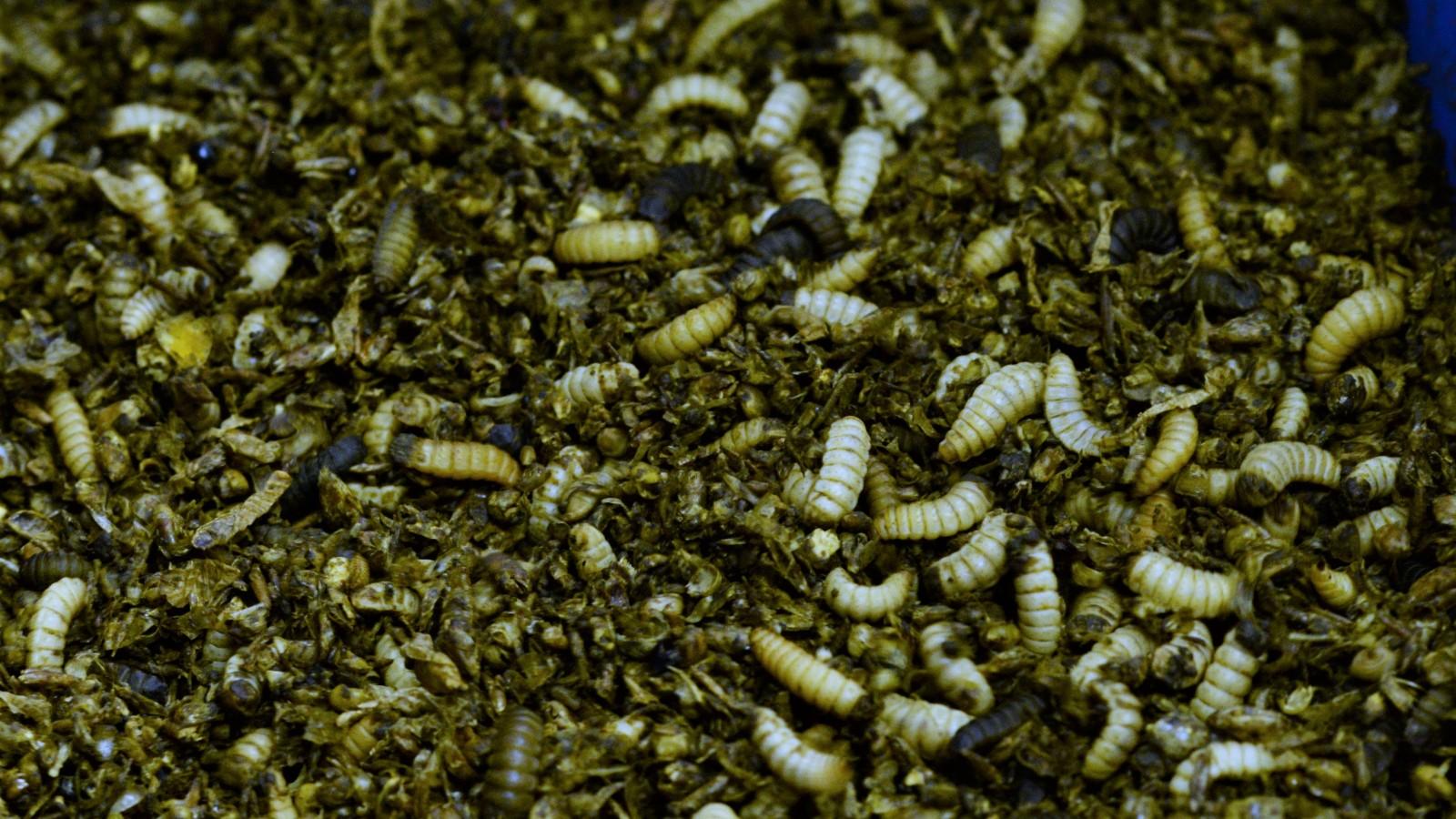 ¿Podrían estas larvas de mosca soldado negro ayudar a salvar el planeta? Foto cortesía de Entoprotech